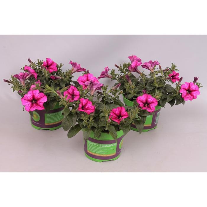<h4>Petunia Saguna Hot Rose Vein</h4>