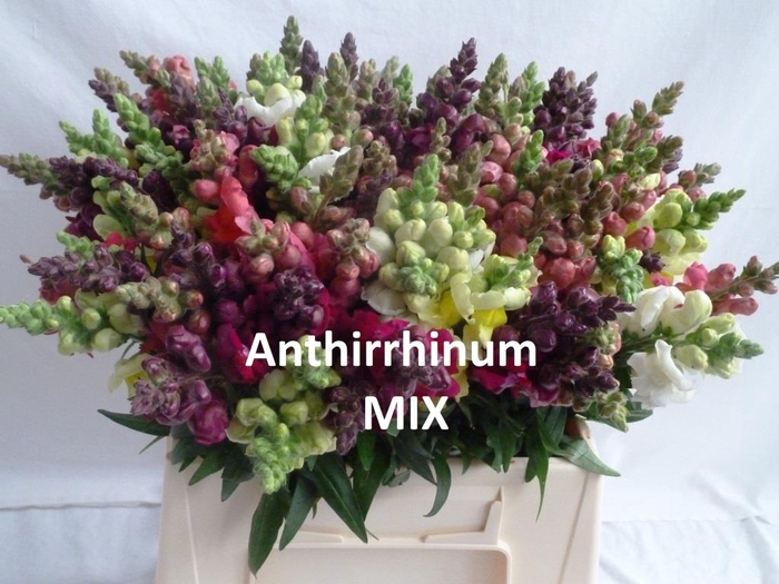 ANTIRRHINUM MIX