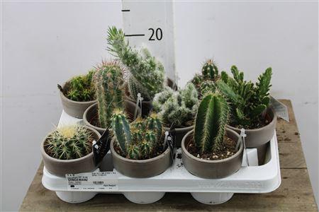 <h4>Arr Cactus Grey Pot</h4>