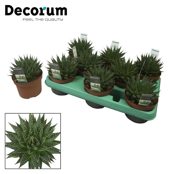 <h4>Aloe aristata (Decorum)</h4>