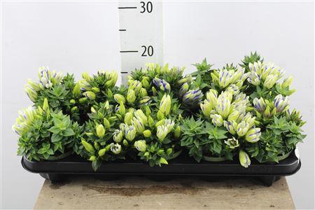 <h4>Gentiana Royal Stripe Bicolor</h4>