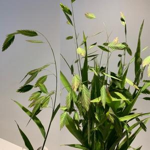 Grasses - Chasmantium