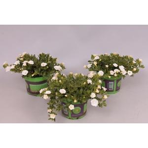 Calibrachoa MiniFamous Double White