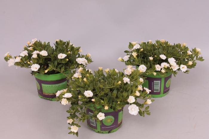 <h4>Calibrachoa MiniFamous Double White</h4>