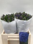 <h4>Hyacinthus Minos</h4>