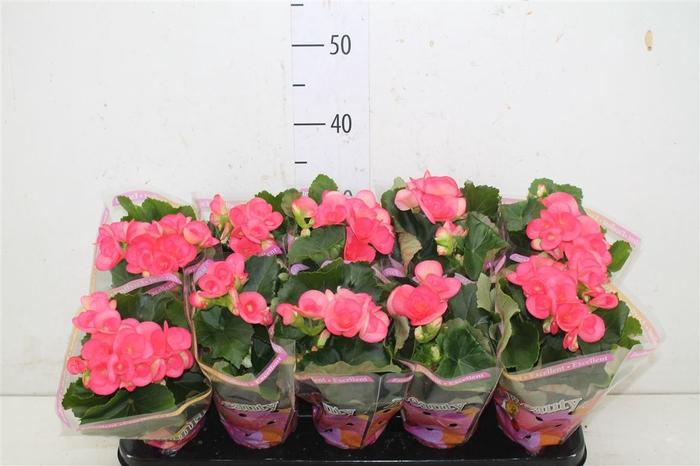 <h4>Begonia Hl Netja</h4>
