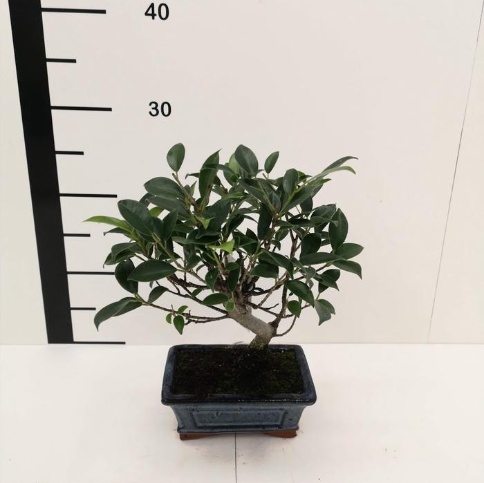 <h4>Bonsai Ficus retusa 5 años</h4>