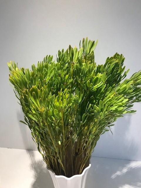 <h4>Leucadendron platyspermum</h4>