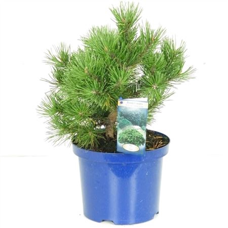 <h4>Pinus Mugo Gnom</h4>