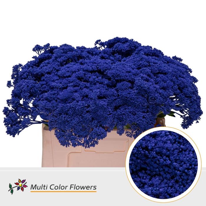 <h4>Sedum Blauw donker</h4>