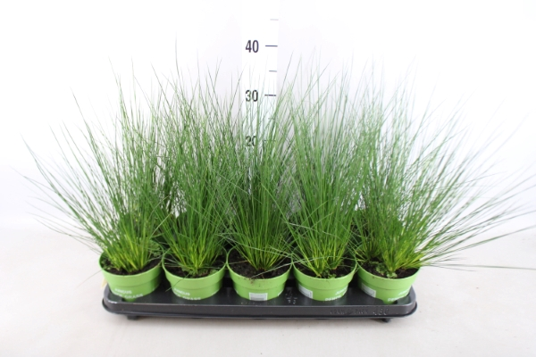 <h4>Juncus  'Pencil Grass'</h4>