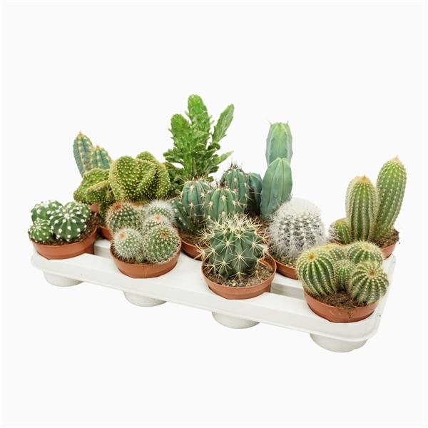 <h4>Cactus mix 10,5 cm.</h4>