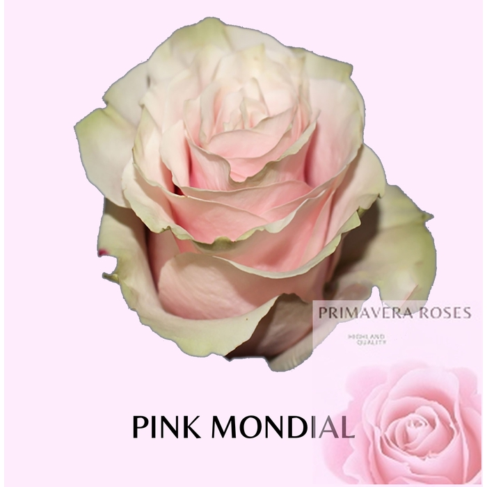 <h4>R GR PINK MONDIAL</h4>