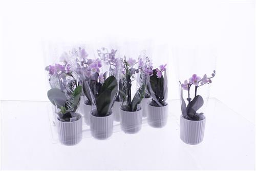 <h4>Phalaenopsis mini</h4>
