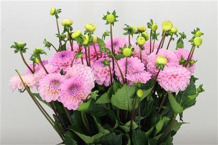 <h4>Dahlia Pp Wizz Of Oz Pale Pink</h4>