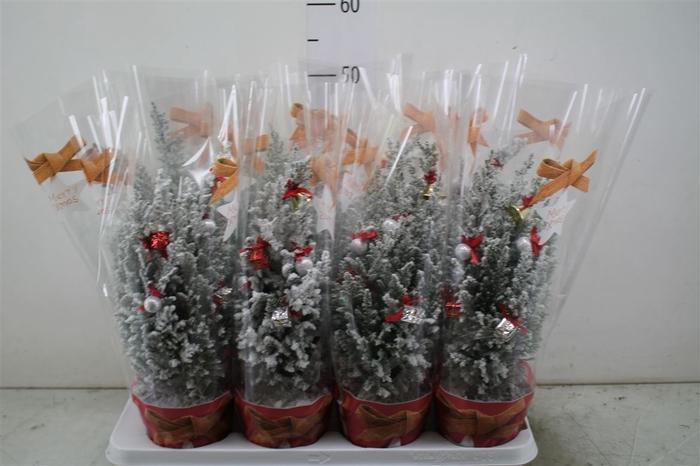 <h4>Chamaecyparis La Ellwoodii Snow In Hoes 5 Deco</h4>