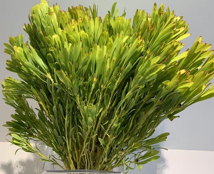 <h4>Greens - Platyspermum</h4>