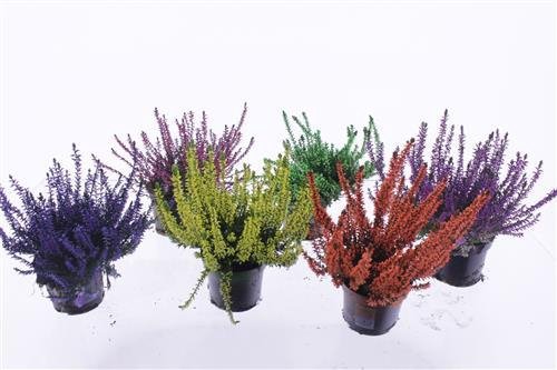 <h4>Calluna vulg. mix</h4>