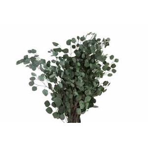 Eucalyptus populus green