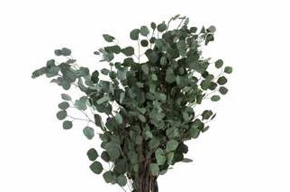 <h4>Eucalyptus populus green</h4>
