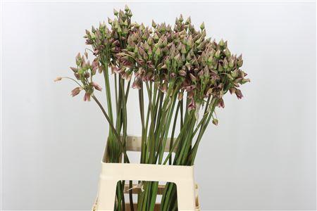 <h4>Nect Allium Siculum</h4>