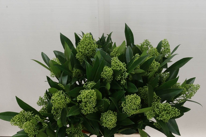 <h4>Skimmia Kew Green Prijs per Bos</h4>