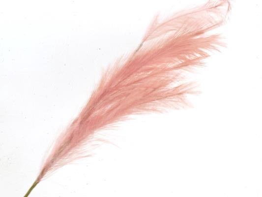 <h4>Af Pampas 100cm Pink</h4>