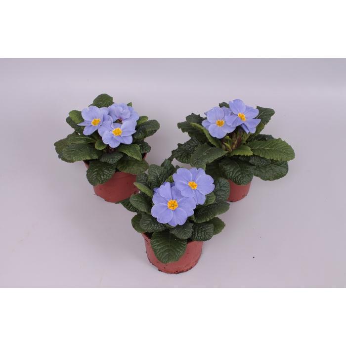 <h4>Primula acaulis Licht Blauw</h4>