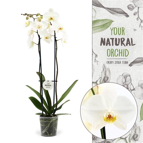 <h4>Phalaenopsis Leeds</h4>