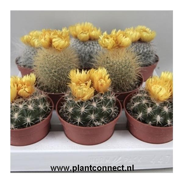 <h4>art.65 Gele bloemen sier (droogbloem) 8,5 cm</h4>