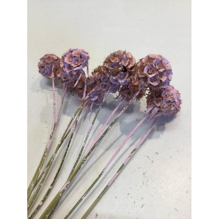 <h4>DRIED FLOWERS - SCABIOSA ROSE 10PCS</h4>