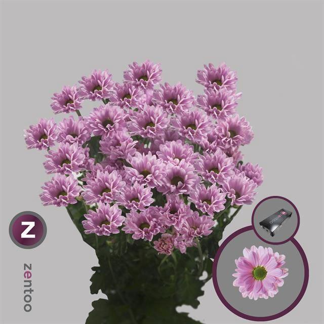 <h4>Chrysanthemum TR 'Katinka'</h4>