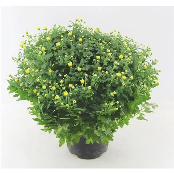 <h4>Chrysanthemum Jasoda Dark Yellow</h4>