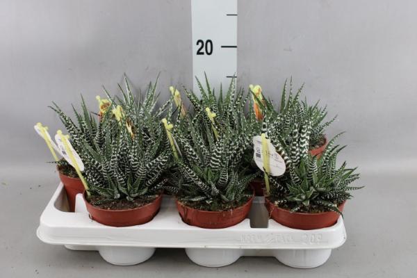 <h4>Haworthia fasciala 'Big Band'</h4>