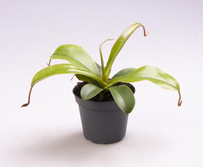 <h4>Nepenthes Alta 6Ø 15cm</h4>