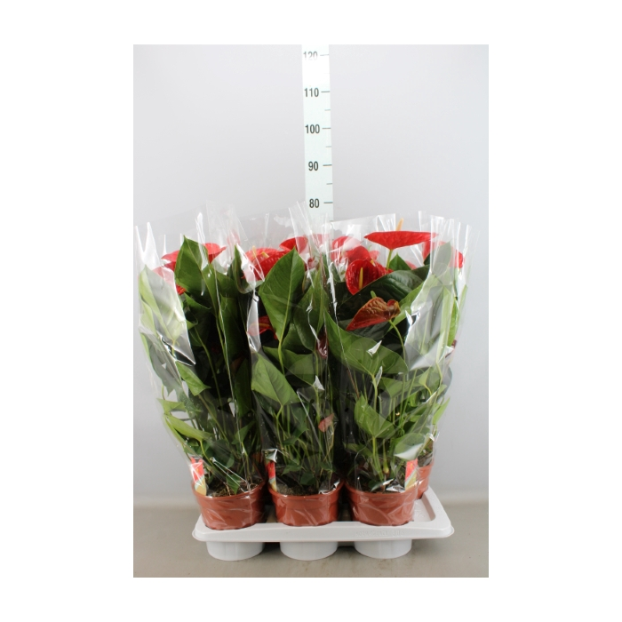 <h4>Anthurium andr. 'Red Winner'</h4>
