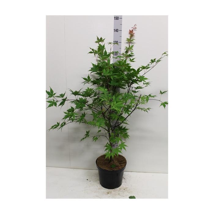 <h4>Acer palmatum 'Osakazuki'</h4>