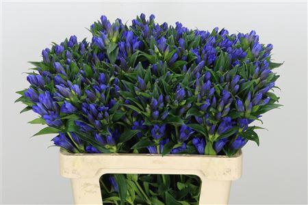 <h4>Gentiana Ashiro Kagayaki Blue</h4>