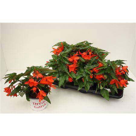 <h4>Begonia Waterfall Encanto Orange</h4>