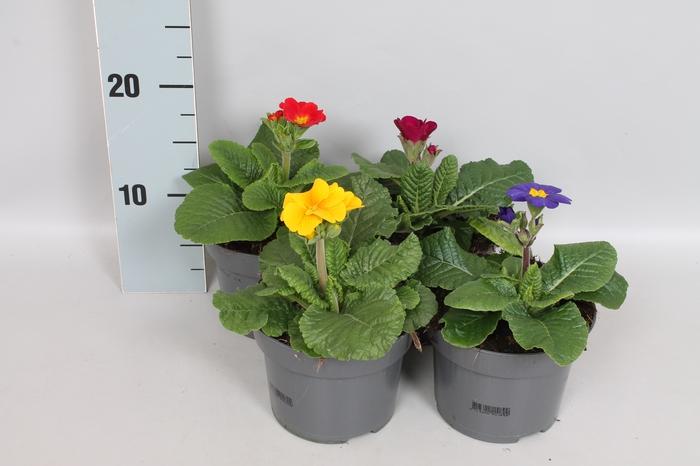 <h4>Primula elatior Crescendo 13cm Mix</h4>
