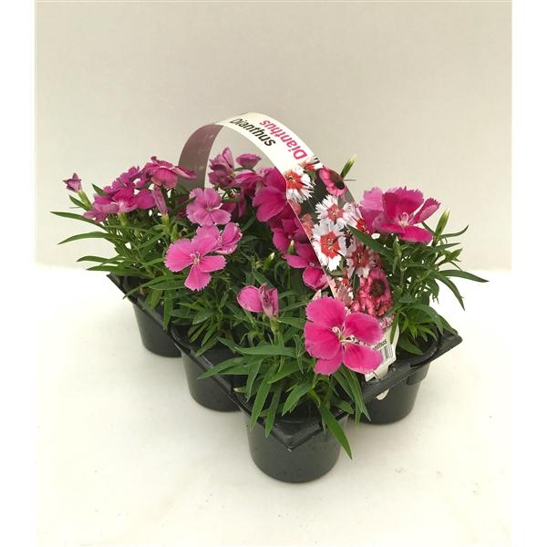 <h4>Dianthus roze 6p</h4>