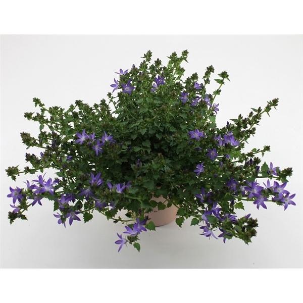<h4>Campanula Adansa purple</h4>