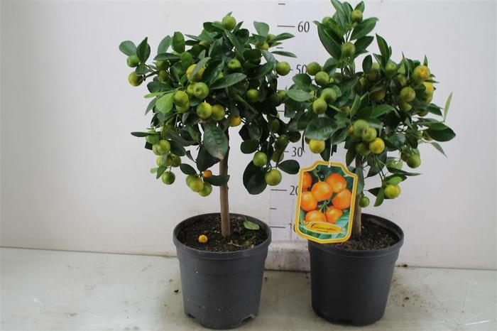 <h4>Citrus Calamondin Stam</h4>
