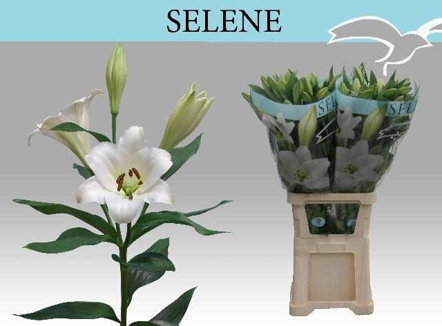 <h4>Li Lf Selene</h4>