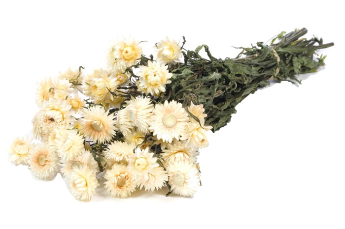 <h4>Helichrysum white nat. Craft</h4>