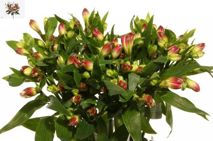 <h4>Alstr Flor Noa Extra</h4>