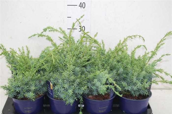 <h4>Juniperus Chinensis 'blue Alps'</h4>