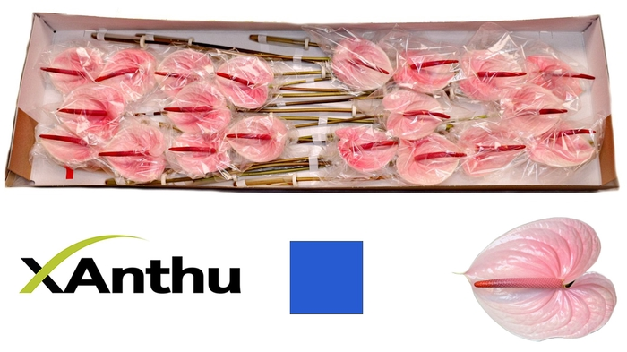 <h4>ANTH A LUNETTE</h4>