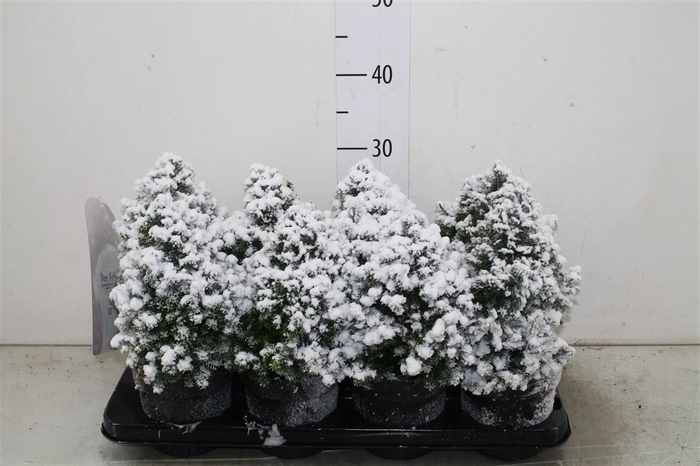 <h4>Chamaecyparis Th Top Point Snow</h4>