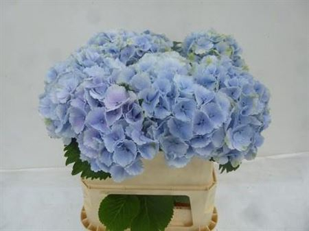 <h4>Hydr M Lolly Pop Bleu</h4>